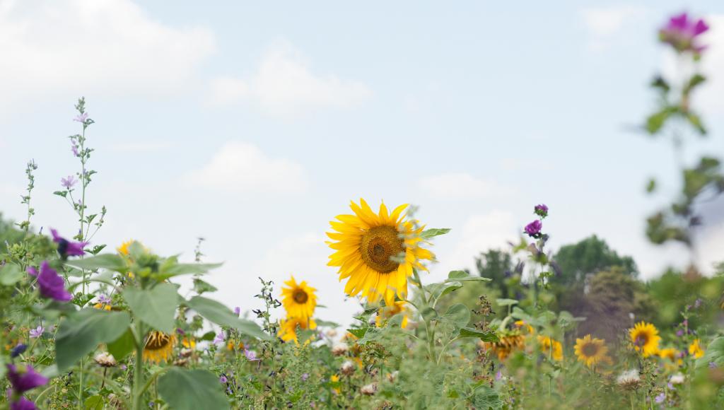 Mehrjährige Blühfläche auf einer landwirtschaftlichen Nutzfläche des Saat-Gut Plaußigs