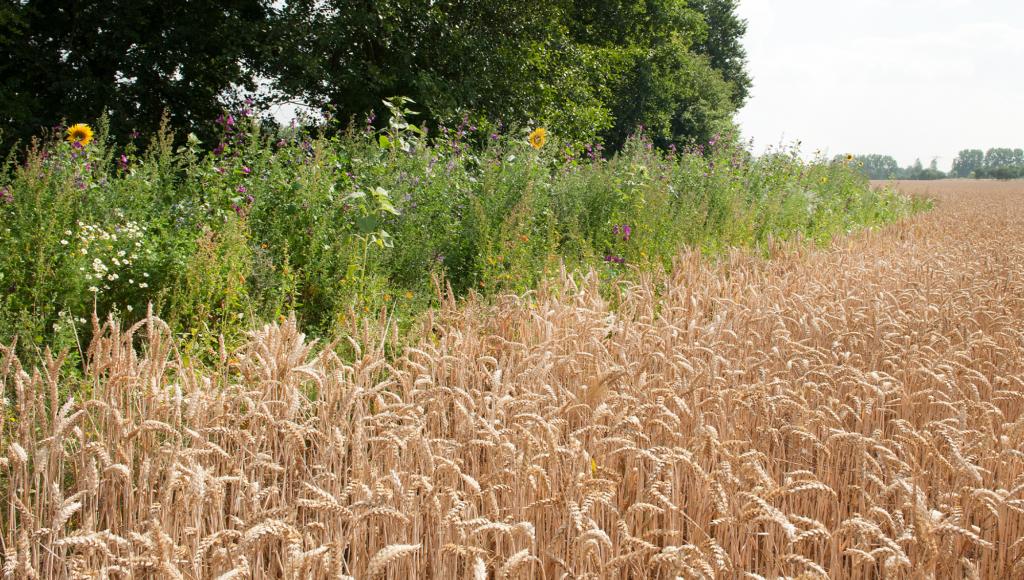 Blühstreifen am Rande eines Getreidefeldes des Saat-Gut Plaußigs