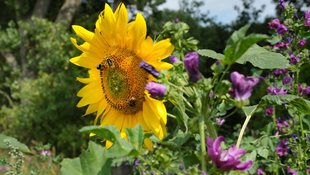 Eingesäte Blühmischung aus ein- und mehrjährigen Blühpflanzen sind die Grundlage einer langen Blühdauer