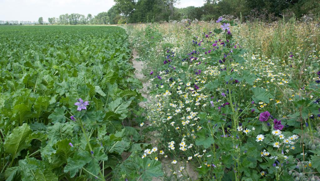 Blühstreifen entlang eines Zuckerrübenfeldes des Saat-Gut Plaußigs